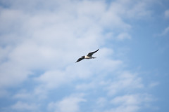 Laughing Gull Flying (Neil DeMaster) Tags: animal banpesticides bird black blackhead blue bluesky cloud conservation conservenature flying gull gullinflight keepourairclean keepouroceansclean keepourwaterclean keeppubliclandspublic laughinggull laughinggullflying laughinggullinflight leucophaeusatricilla nature naturephotography ocean outdoor outdoorphotography protectnature protectourenvironment protectwildlife saveourseas sea seabird seagull seagullflying seagullinflight soaring water white wildlife wildlifephotography
