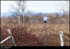Busard des marais, mâle (Sébastien Dionne photographe) Tags: cacouna bassaintlaurent oiseau oiseaux bird birds parccôtierkiskotuk canon canon5dmarkiv canon5dmkiv 150600mm 150600 5dmarkiv 5dmkiv sigma sigma150600 sigma150600dgoshsmsport sigma150600s busard busarddesmarais