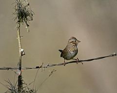 Lincoln's sparrow (justkim1106) Tags: bird songbird sparrow lincolnssparrow fence wire barbedwire barbwire nature wildlife texasbird texaswildlife migratorybird