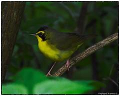 Kentucky (RKop) Tags: raphaelkopanphotography d500 cincinnati ohio warbler warblers