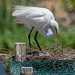 Great Egret watching its eggs