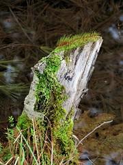 Vegetation on Stump  IMG_2898 (PRS North Star) Tags: newgrowth oldstumps stumps ponds pondlife vegetation