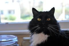 Batman (rootcrop54) Tags: batman longhaired tuxedo male cat headshot head whiskers attitude neko macska kedi 猫 kočka kissa γάτα köttur kucing gatto 고양이 kaķis katė katt katze katzen kot кошка mačka gatos maček kitteh chat ネコ cc100 cc400