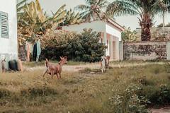 Ghana (elsableda) Tags: ghana accra goat animals sun light littledoglaughedstories
