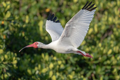 White Ibis Inflight (dbadair) Tags: outdoor seaside sky nature wildlife 7dm2 7d ii ef100400mm canon florida bird