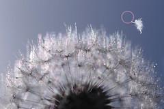 Faerie Kingdom - Rainbows (Hugobian) Tags: little faerie fairy kingdom macro dandelion seed heads sun droplets fantasy pentax k1