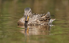 Gadwall (PhotoLoonie) Tags: gadwall duck waterbird wildlife nature attenboroughnaturereserve