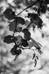 A Fine Vintage (belleshaw) Tags: blackandwhite nature ucrbotanicgarden riverside garden grapes leaves vines plant hanging arbor fruit texture abstract detail
