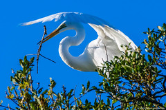 2019.04.24.9469 Great Egret (Brunswick Forge) Tags: 2019 grouped florida bird birds animal animals animalportraits outdoor outdoors day wildlife nature staugustine nikond500 nikkor200500mm sky air egret greategret sunny favorited commented