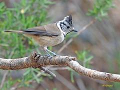 Herrerillo capuchino (Lophophanes cristatus) (24) (eb3alfmiguel) Tags: aves pájaros insectívoros passeriformes paridae herrerillo capuchino lophophanes cristatus
