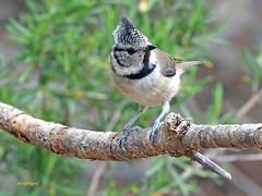Herrerillo capuchino (Lophophanes cristatus) (22) (eb3alfmiguel) Tags: aves pájaros insectívoros passeriformes paridae herrerillo capuchino lophophanes cristatus