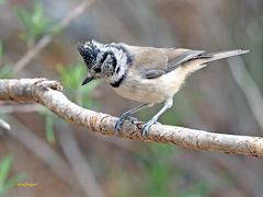 Herrerillo capuchino (Lophophanes cristatus) (20) (eb3alfmiguel) Tags: aves pájaros insectívoros passeriformes paridae herrerillo capuchino lophophanes cristatus