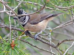 Herrerillo capuchino (Lophophanes cristatus) (6) (eb3alfmiguel) Tags: aves pájaros insectívoros passeriformes paridae herrerillo capuchino lophophanes cristatus