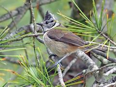 Herrerillo capuchino (Lophophanes cristatus) (4) (eb3alfmiguel) Tags: aves pájaros insectívoros passeriformes paridae herrerillo capuchino lophophanes cristatus