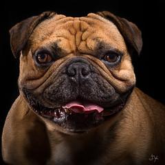_JYB1488-Modifier (jybephoto) Tags: chien chuck animaux studio