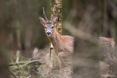 D82_6819 (immersion-nature) Tags: oiseaux arbre etang chimay climat photographe brouillard neige heron foret riviere brume wildlife bird r
