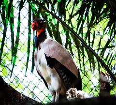 Sarcoramphus papa (Filipe Bacelo) Tags: urubu zoo ave hx100v sony rei animal animalia cathartidae fauna