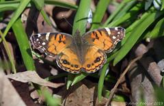 Painted Lady (Arvo Poolar) Tags: outdoors canada scarborough rosettamcclaingardens arvopoolar nature naturallight natural naturephotography nikond500 butterfly painte