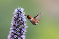Joy!!! (Patricia Ware) Tags: allenshummingbird birdsinflight california canon ef400mmf4doisiiusmlens handheld playadelrey selasphorussasin ©2019patriciawareallrightsreserved playavista unitedstatesofamerica specanimal