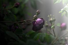 Roses4 (Franck gallery) Tags: bokehwhores