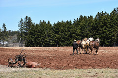 PEI - 2019-05-040b (MacClure) Tags: canada pei princeedwardisland bridgetown amish horse plow