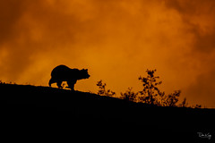 End of the Day (Dan King Alaskan Photography) Tags: grizzlybear grizzly bear sunset evening ridge preservewilderness protectwildlife wildlife denalinationalpark canon50d sigma80400mm