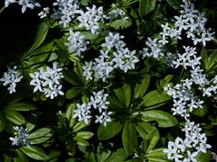 Galium odoratum (Sweet Woodruff) (Hugh Knott) Tags: galiumodoratum sweetwoodruff flora flowers macro anglesey wales uk rubiaceae macroflowerlovers