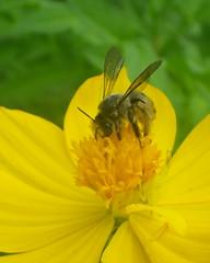 ursinho (abelhário) Tags: abelhasnativas wildbees wildbienen wildebijen cosmo