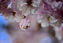 _DSC7944  Stand out from the crowd (christinachui79) Tags: closeupphotography macrophotography nikond750 blossomphotography flowerphotography naturephotography nature flickrnature pastelcolour pastel white cherryblossoms springblossom springflowers spring springtime flower flowers flickr beautiful pink blossoms blossom macro sigma closeup nikon d750 bokeh