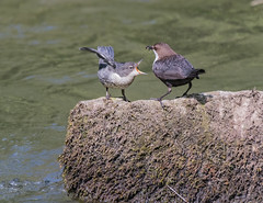 Feed me now ! (ukmjk) Tags: dipper river dove young feeding nikon nikkor d500 200500 vr water bird