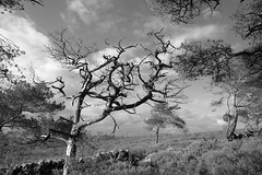 AtGunHill (Tony Tooth) Tags: nikon d600 tamron 2470mm tree wood moors moorland gunhill heath swythamley staffs staffordshire staffordshiremoorlands bw blackandwhite monochrome england