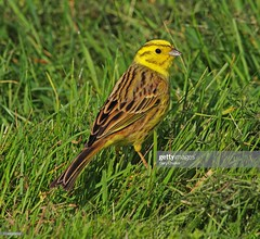 Yellowhammer (Gary Chalker, Thanks for over 4,000,000. views) Tags: yellowhammer bird finch pentax pentaxk3ii k3ii pentaxfa600mmf4edif fa600mmf4edif fa600mm 600mm