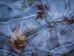 iced leaf (marinachi) Tags: ice leaf closeup blue brown