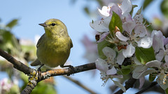 OCW Beside Blossoms (TW Olympia) Tags: orange crowned warbler nisqually