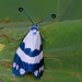 Corma zelica - a day-flying Chalcosiine moth