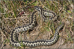 Adder (image 3 of 4) (Full Moon Images) Tags: rspb minsmere wildlife nature reserve reptile male adder