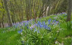 F5058733 E-M5ii 12mm iso400 f5.6 1_320s 0 (Mel Stephens) Tags: 20190505 201905 2019 q2 16x10 8x5 wide widescreen olympus mzuiko mft microfourthirds m43 1240mm pro omd em5ii ii mirrorless gps uk scotland aberdeenshire stonehaven plant plants nature flora flower flowers bluebells wood woods
