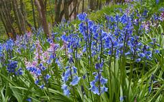 F5058752 E-M5ii 19mm iso400 f11 1_100s 0 (Mel Stephens) Tags: 20190505 201905 2019 q2 16x10 8x5 wide widescreen olympus mzuiko mft microfourthirds m43 1240mm pro omd em5ii ii mirrorless gps uk scotland aberdeenshire stonehaven plant plants nature flora flower flowers bluebells wood woods