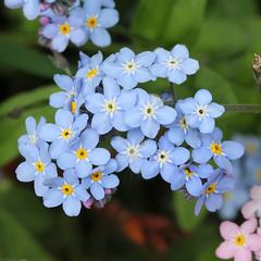 Myosotis sp. (JM Wild Flowers) Tags: prioryfields warwickshire forgetmenot myosotis boraginaceae myosotissp