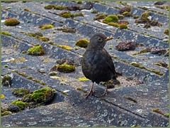 Searching through the Moss ! (GABOLY) Tags: birds blackbird female search food moss roof tiles house garden kent england may 2019 s