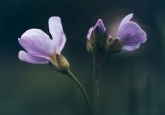 Your New Cuckoo (shawn~white) Tags: 50mm canon6d cardaminepratensis macro nik nature sigmamacro50mmf28exdg allure bokeh closeup cuckooflower dreamy enchanting filmlook flower idyllic ladyssmock magical melancholy nostalgia purity purple retro spring turquoise ©shawnwhite
