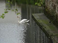 Swan and moorhen (Phil Gayton) Tags: water bird mute swan cygnusolor cob moorhen gallinulachloropus mill tail river dart totnes devon uk
