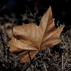 Texturas otoñales (Ce Rey) Tags: otoño autumn macro leaf hoja brown dried marrón texture textura relieve nervaduras efs60mmf28macrousm t3i
