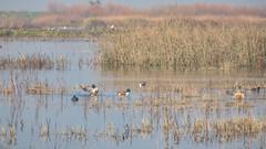 Northern Shovelers (randyherring) Tags: ca california centralcaliforniavalley cosumnesriverpreserve elkgrove afternoon aquaticbird nature outdoor recreational waterfowl wetlands