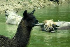 Aikman Wildlife Adventure (Tiger_Jack) Tags: zoo zoos zoosofnorthamerica itsazoooutthere aikmanwildlifeadventure llamas llama waterbuffalo waterbuffalos