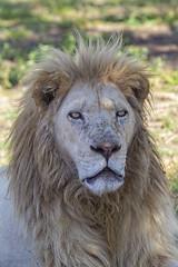 Older Lion in South Africa (ErwanGrey) Tags: leon lion africa safari pilanesberg