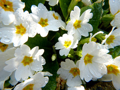 Primrose P1450101mods (Andrew Wright2009) Tags: garden flowers cultivated white primrose