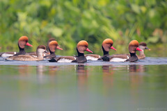 Red Crested Pochard (Arindam.Bhattacharya) Tags: redcrestedpochard pochard bird birds birdsofindia waders water waterbirds nettarufina duck ducks pochardduck india incredibleindia ngc westbengal