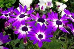 Senetti DSCN1626mods (Andrew Wright2009) Tags: flowers plants cultivated garden senetti purple mauve