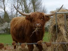 Highland Bullock P1450076mods (Andrew Wright2009) Tags: tilty essex england uk cattle highland bullock